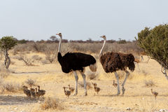 Famiglia dello struzzo con i polli, struthio camelus, in Namibia Fotografia Stock Libera da Diritti