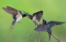 Famiglia dello Swallow di granaio Immagine Stock