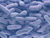 Famiglia di batteri delle enterobatteriacee Fotografie Stock