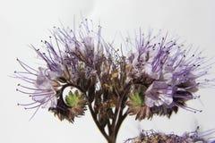 Famiglia di borragine di Phacelia & x28; Boraginaceae& x29; Fotografie Stock