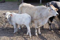 Famiglia di Bufalo di grande toro, della mucca bianca e del bestiame stanti nell'iarda dell'uccelliera dello zoo immagini stock libere da diritti