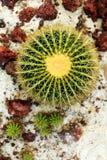 Famiglia di cactus Immagini Stock Libere da Diritti