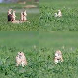 Famiglia di cane della prateria Fotografia Stock
