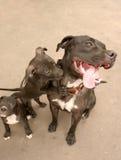 Famiglia di cane felice Fotografie Stock Libere da Diritti