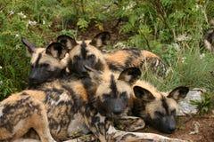 Famiglia di cane selvaggio Fotografia Stock