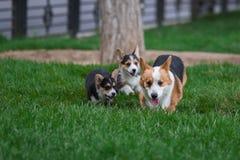 Famiglia di cani del Corgi di Lingua gallese che gioca nel parco su erba verde Pembroke Corgi Puppy Having Fun all'aperto fotografia stock