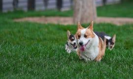 Famiglia di cani del Corgi di Lingua gallese che gioca nel parco su erba verde Pembroke Corgi Puppy Having Fun all'aperto immagine stock libera da diritti