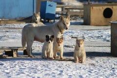 Famiglia di cani della slitta Fotografia Stock Libera da Diritti