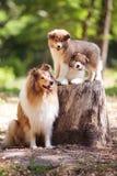 Famiglia di cani delle collie Fotografie Stock
