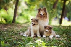 Famiglia di cani delle collie Fotografia Stock