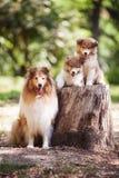 Famiglia di cani delle collie Fotografie Stock Libere da Diritti