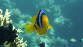 Famiglia di Clownfish che gioca nella loro casa dell'anemone video d archivio