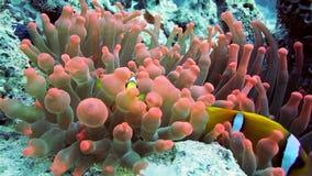 Famiglia di Clownfish che gioca nella loro casa dell'anemone stock footage
