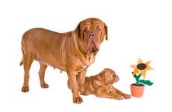 Famiglia di Dogue De Bordeaux Immagine Stock