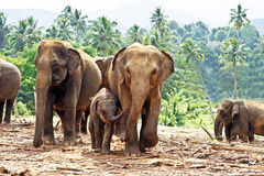 Famiglia di Elefant nello spazio all'aperto Fotografie Stock Libere da Diritti