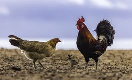 Famiglia di Feral Marans Chicken sulla spiaggia Immagine Stock