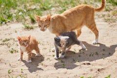 Famiglia di gatti che cammina sulla sabbia con erba fotografia stock libera da diritti