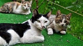 Famiglia di gatto immagini stock
