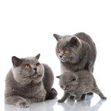 Famiglia di gatto Fotografia Stock Libera da Diritti