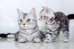 Famiglia di gatto americana dello shorthair Fotografia Stock