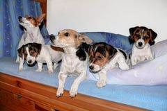 Famiglia di Jack Russell Terrier immagine stock