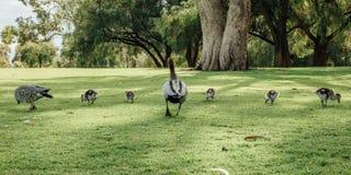Famiglia di legno australiana di jubata di Duck Chenonetta in re Park, Perth, WA, Australia Immagini Stock Libere da Diritti