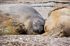 Famiglia di lupo di mare che dorme sulla spiaggia in Argentina immagini stock