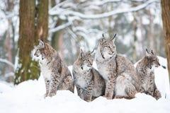 Famiglia di Lynx Fotografie Stock