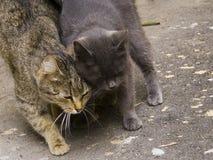 Famiglia di marzo dei gatti nell'amore Fotografia Stock