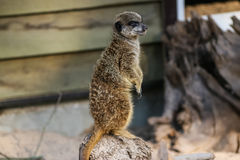 Famiglia di Meercat nello zoo Fotografia Stock