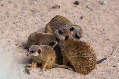 Famiglia di Meercat nello zoo Immagini Stock