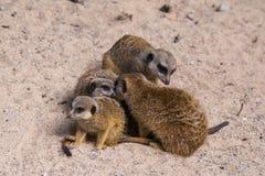 Famiglia di Meercat nello zoo Immagine Stock
