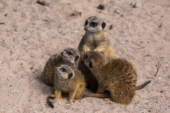 Famiglia di Meercat nello zoo Immagini Stock Libere da Diritti