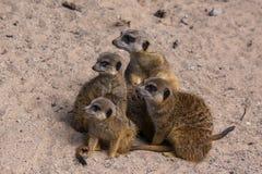 Famiglia di Meercat nello zoo Fotografia Stock Libera da Diritti