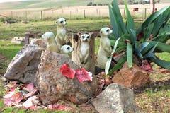 Famiglia di Meercats Fotografie Stock