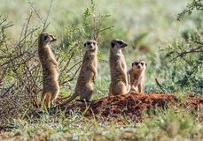 Famiglia di Meerkat Fotografie Stock Libere da Diritti