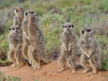 Famiglia di Meerkat Fotografia Stock