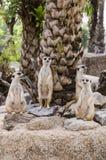 Famiglia di Meerkat Fotografia Stock Libera da Diritti