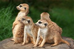 Famiglia di Meerkat Immagini Stock