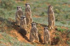 Famiglia di Meerkat Fotografie Stock