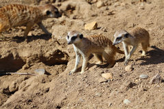 Famiglia di Meerkats Fotografia Stock Libera da Diritti