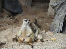 Famiglia di Meerkats Fotografia Stock