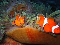 Famiglia di pesce tropicale del pagliaccio Fotografia Stock