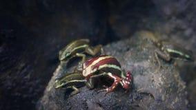 Famiglia di piccole rane tropicali archivi video