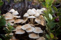Famiglia di piccoli funghi Immagini Stock Libere da Diritti