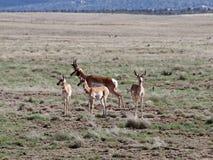 Famiglia di Pronghorn in Prescott Highlands immagine stock