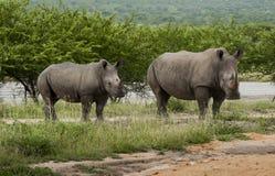 Famiglia di rinoceronte Fotografia Stock Libera da Diritti