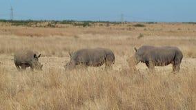 Famiglia di rinoceronte che affoga corno Sudafrica stock footage