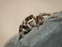 Famiglia di salto di salticidae del ragno Fotografie Stock