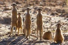 Famiglia di Suricate che sta nel sole di primo mattino che cerca po Fotografie Stock